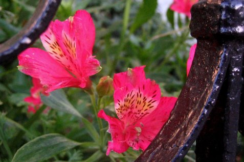 A pair of gated pink Alstroemeria - SF